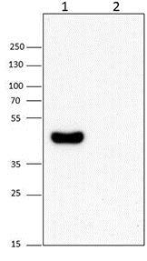 Western blot - Anti-RPB3 antibody [1Y26] (ab202893)
