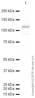 Western blot - HRP Anti-delta 1 Catenin/CAS antibody [YE372] (ab202914)