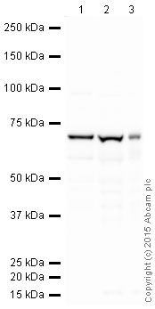 Western blot - Anti-STIP1/STI1 antibody [EPR6605] (HRP) (ab202919)