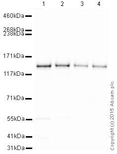 Western blot - HRP Anti-SF3B1 antibody [EPR11986] (ab202926)
