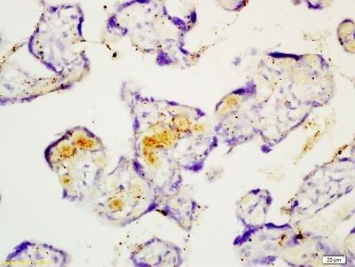 Immunohistochemistry (Formalin/PFA-fixed paraffin-embedded sections) - Anti-Fibulin 5 antibody (ab202977)