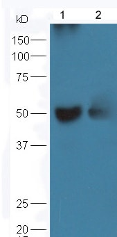 Western blot - Anti-CD4 antibody (ab203034)