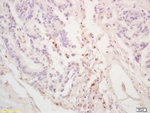 Immunohistochemistry (Formalin/PFA-fixed paraffin-embedded sections) - Anti-GGNBP2 antibody (ab203104)