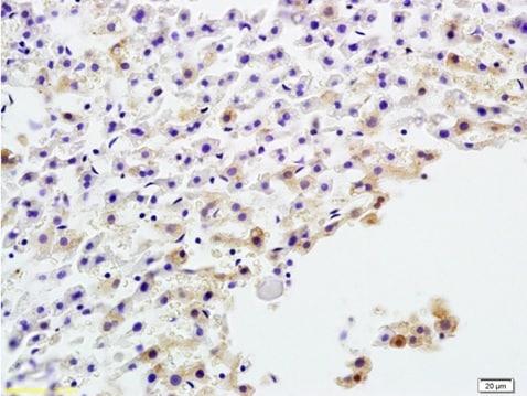 Immunohistochemistry (Formalin/PFA-fixed paraffin-embedded sections) - Anti-Alkaline Phosphatase, Tissue Non-Specific antibody (ab203106)