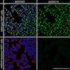 Immunocytochemistry/ Immunofluorescence - Anti-HADHA antibody [EPR17940] (ab203114)