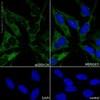 Immunocytochemistry/ Immunofluorescence - Anti-Hsp90 antibody [EPR16621-67] (ab203126)
