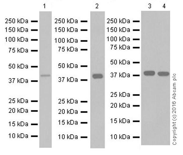 Western blot - Anti-CCR2 antibody [EPR19698] (ab203128)