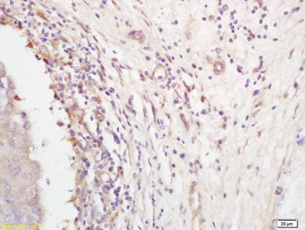 Immunohistochemistry (Formalin/PFA-fixed paraffin-embedded sections) - Anti-Follistatin antibody (ab203131)