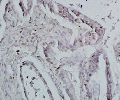 Immunohistochemistry (Formalin/PFA-fixed paraffin-embedded sections) - Anti-Id1 antibody (ab203202)