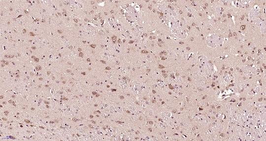 Immunohistochemistry (Formalin/PFA-fixed paraffin-embedded sections) - Anti-IL22 RA2/IL-22BP antibody (ab203211)