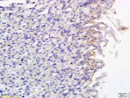 Immunohistochemistry (Formalin/PFA-fixed paraffin-embedded sections) - Anti-SLCO2B1/OATP2B1 antibody (ab203215)