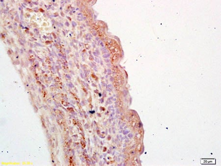 Immunohistochemistry (Formalin/PFA-fixed paraffin-embedded sections) - Anti-TGE antibody - C-terminal (ab203229)