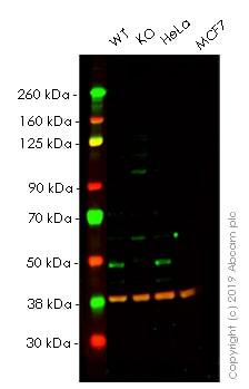 Western blot - Anti-SKP2 antibody [EPR3305(2)] (Alexa Fluor® 488) (ab203268)