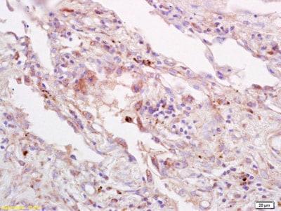 Immunohistochemistry (Formalin/PFA-fixed paraffin-embedded sections) - Anti-4-1BBL antibody (ab203291)