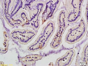 Immunohistochemistry (Formalin/PFA-fixed paraffin-embedded sections) - Anti-Mannan Binding Lectin/MBL antibody (ab203303)