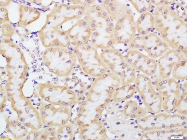 Immunohistochemistry (Formalin/PFA-fixed paraffin-embedded sections) - Anti-beta Defensin 1 antibody (ab203307)