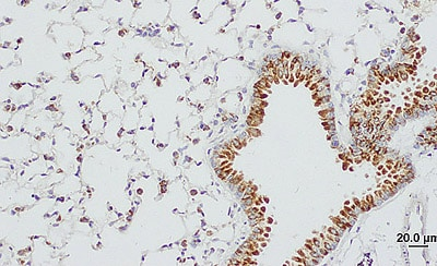 Immunohistochemistry (Formalin/PFA-fixed paraffin-embedded sections) - Anti-Surfactant protein D/SP-D antibody (ab203309)
