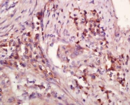 Immunohistochemistry (Formalin/PFA-fixed paraffin-embedded sections) - Anti-WDR26 antibody (ab203345)