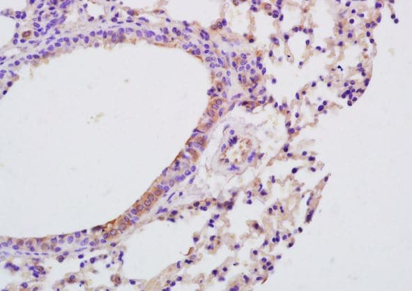 Immunohistochemistry (Formalin/PFA-fixed paraffin-embedded sections) - Anti-IL-9 antibody (ab203386)