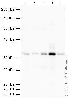 Western blot - HRP Anti-TXNRD1 antibody [EPNCIR129] (ab203464)