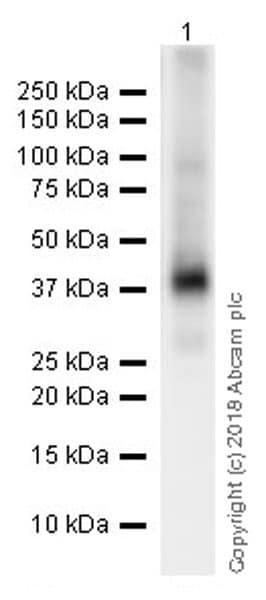 Western blot - Anti-Liver Arginase antibody [EPR19652] (ab203490)