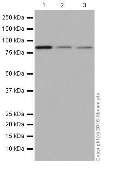 Western blot - Anti-Bcl2-L-13 antibody [EP10625] (ab203516)