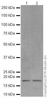 Western blot - Anti-BTF3 antibody [EPR16495] (ab203517)