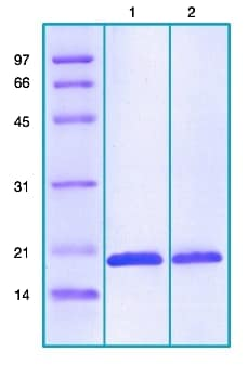 SDS-PAGE - Recombinant DNA protection during starvation protein (ab203523)