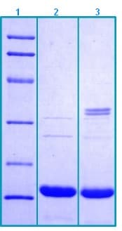 SDS-PAGE - Recombinant Mouse Procalcitonin protein (ab203548)