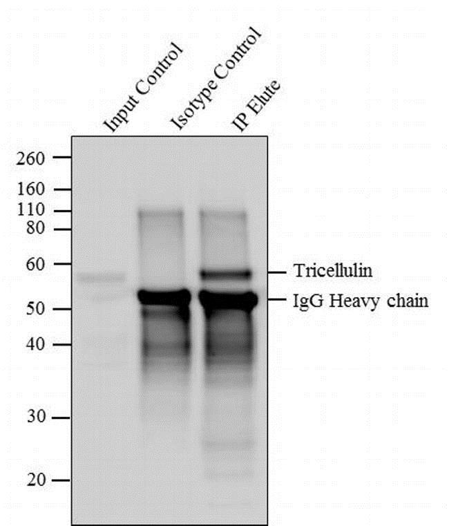 Immunoprecipitation - Anti-MARVELD2/Tricellulin antibody [54H19L38] (ab203567)