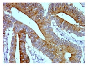 Immunohistochemistry (Formalin/PFA-fixed paraffin-embedded sections) - Anti-Sumo 3 antibody [1H9L17] (ab203570)