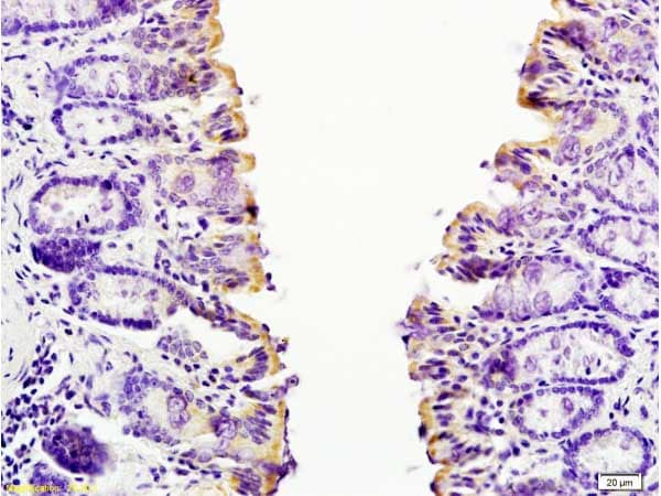 Immunohistochemistry (Formalin/PFA-fixed paraffin-embedded sections) - Anti-Eotaxin 2 antibody (ab203586)