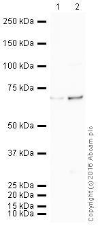 Western blot - Anti-PLK1 antibody [35-206] (HRP) (ab203647)