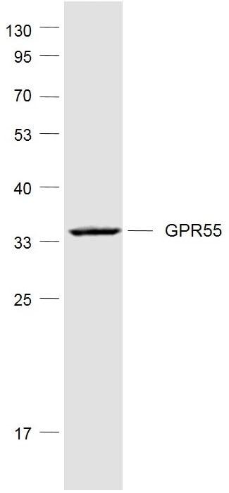 Western blot - Anti-GPCR GPR55 antibody (ab203663)
