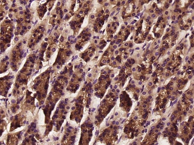 Immunohistochemistry (Formalin/PFA-fixed paraffin-embedded sections) - Anti-tenomodulin antibody (ab203676)
