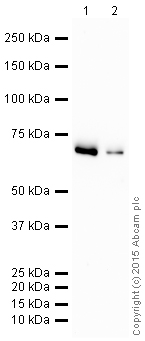 Western blot - Anti-CLPX antibody [EP8772] (HRP) (ab203694)