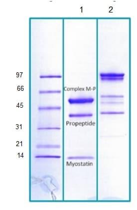 SDS-PAGE - Recombinant Human GDF8 / Myostatin protein (ab203723)