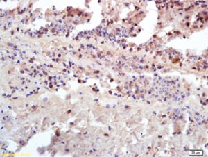 Immunohistochemistry (Formalin/PFA-fixed paraffin-embedded sections) - Anti-Insulin Receptor antibody (ab203746)