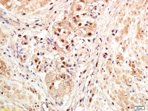 Immunohistochemistry (Formalin/PFA-fixed paraffin-embedded sections) - Anti-PAPOLG antibody (ab203751)