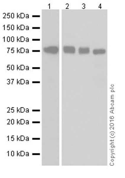 Western blot - Anti-MTHFR antibody [EPR19781] (ab203786)
