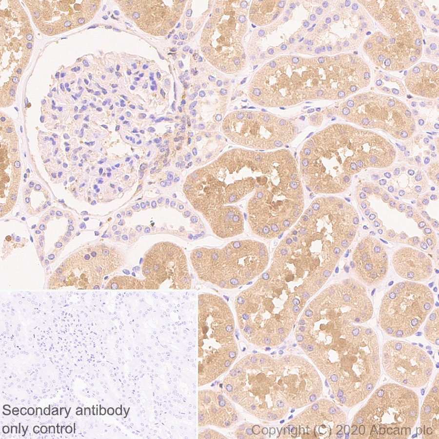 Immunohistochemistry (Formalin/PFA-fixed paraffin-embedded sections) - Anti-MTHFR antibody [EPR19781] (ab203786)