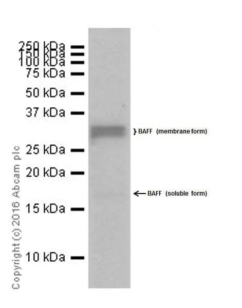 Western blot - Anti-BAFF antibody [EPR19704] (ab203791)