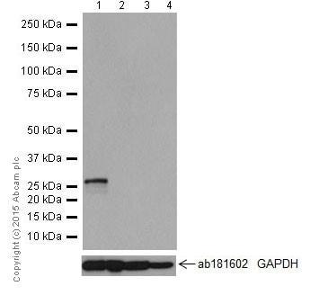 Western blot - Anti-KCNIP4 antibody [EPR18314] (ab203831)