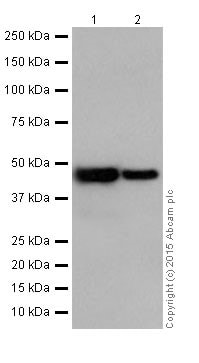 Western blot - Anti-UQCRC2 antibody [EPR13051] (ab203832)