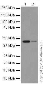 Western blot - Anti-ACTR1B + ACTR1A antibody [EPR16968(B)] (ab203833)