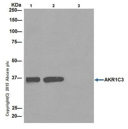 Immunoprecipitation - Anti-AKR1C3 antibody [EPR16725] (ab203834)