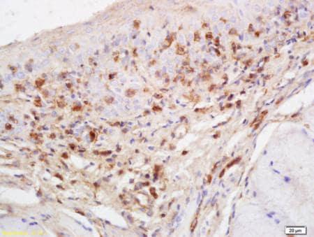 Immunohistochemistry (Formalin/PFA-fixed paraffin-embedded sections) - Anti-RASA3 antibody (ab203873)