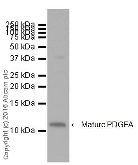 Western blot - Anti-PDGF AA antibody [EPR19924] (ab203911)