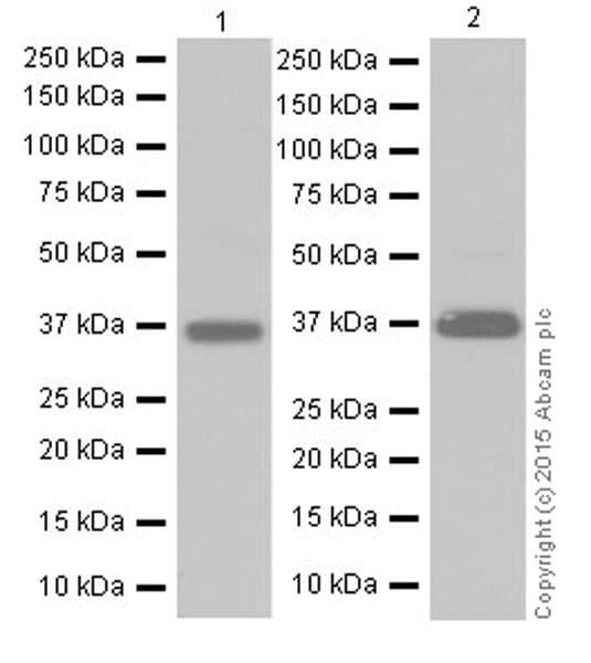 Western blot - Anti-MTCO1 antibody [EPR19628] (ab203912)