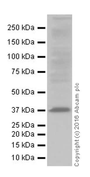 Western blot - Anti-MTCO1 antibody [EPR19642] (ab203917)